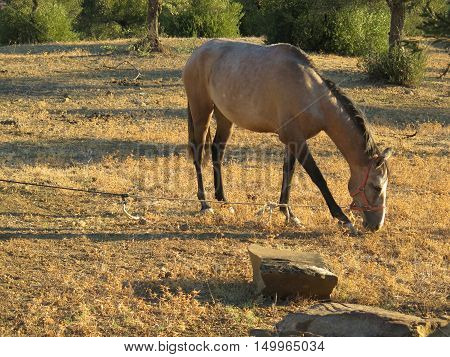 Roan Horse In Olive Grove