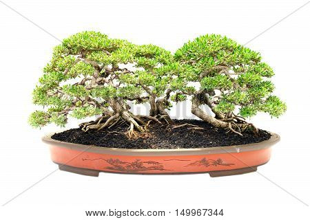 bonsai tree isolated on white in the room