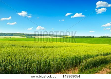 Spring wheat field and clear blue sky with small clouds.