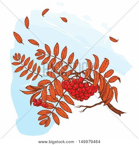 Wind stripping leaves off the Rowanberry branch. Autumn mood. Hand drawn sketch with watercolor imitation. EPS10 vector illustration.