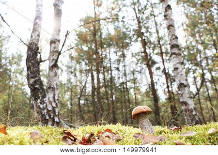 The orange-cap mushroom grow in the green moss birch wood leccinum growing in the sun rays