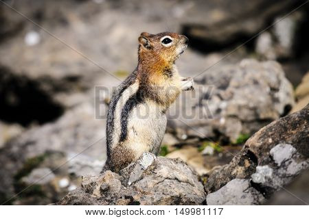Golden-mantled Ground Squirrel ( Callospermophilus Lateralis)