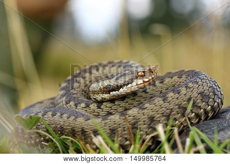 european common viper on mountain meadow ( Vipera berus female )