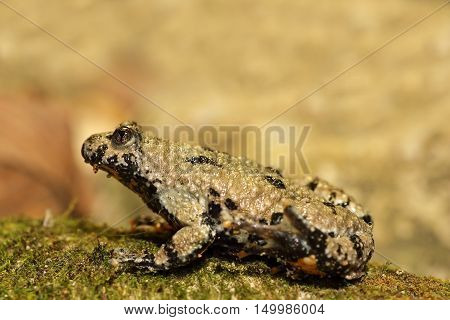 profile view of yellow bellied toad full length ( Bombina variegata )