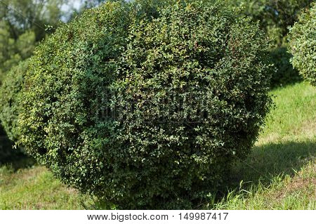Large round boxwood bush in a park.