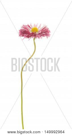 soft pink purple daisy flower with a yellow center on a thin curved long green stem isolated on a white vertical background vertical