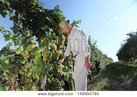 Grapes harvest Winemaker in vineyard, autumn season