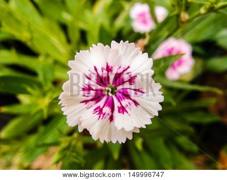 Dianthus chinensis (China Pink) Flowers in the garden