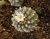 pic of peyote  - Peyote lophophora williamsii sacred cactus of Northern Mexico and Southwest United States - JPG