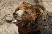 foto of grizzly bears  - Growling ferocious aggressive Grizzly Bear or Brown Bear - JPG