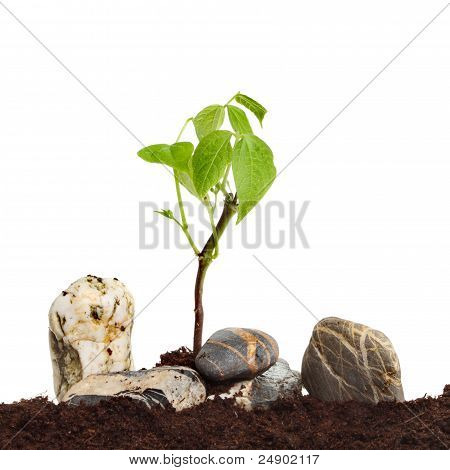 Seedling In Rocks