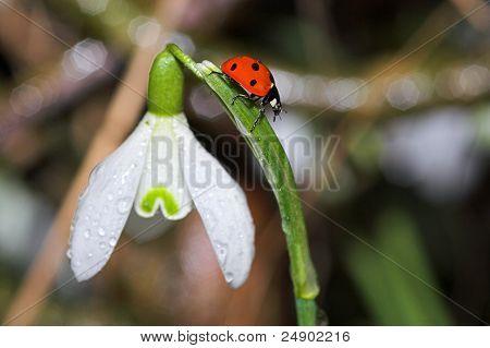 Ladybug On Snowdrop