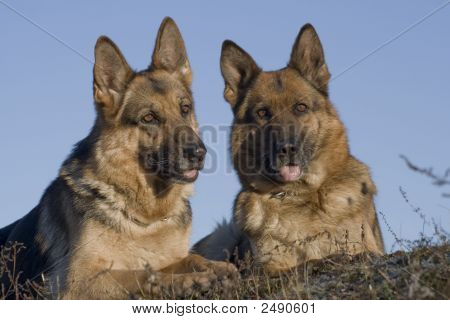 Two Sheep-Dogs Laying In A Grass