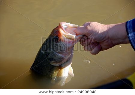 large mouth bass release