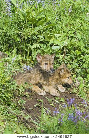 Gray Wolf jungen