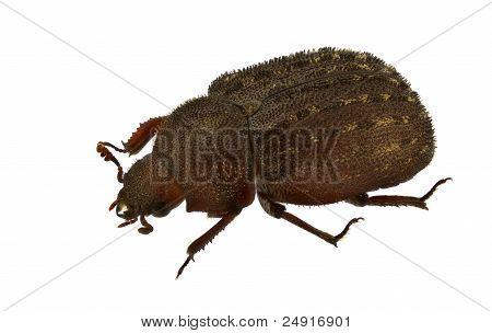 Aesalus Scarabaeoides