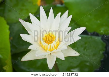 Closeup White Lotus Flower In The Lake