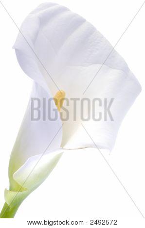 Calla Lily Over White