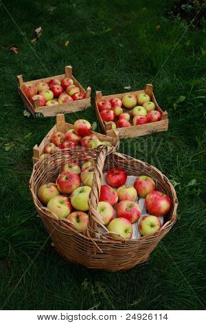 harvest of apples