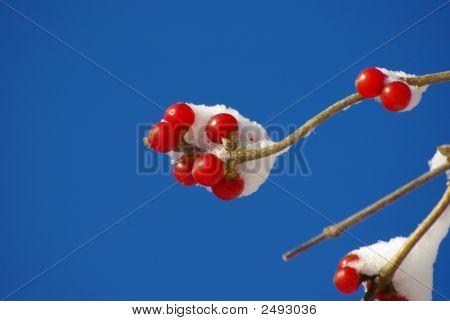 Red Berries With Snow And Blue Sky Background