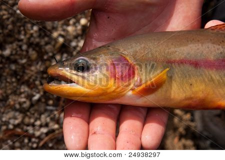 Close-up of a Golden Trout, Oncorhynchus mykiss aguabonita