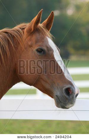 Profile Of Quarterhorse With White Blaze