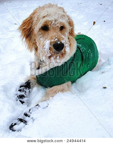 Goldendoodle in the Snow