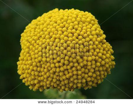 Fernleaf Yarrow  (achillea Filipendulina )