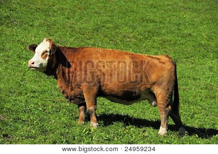 Young Hereford Cow