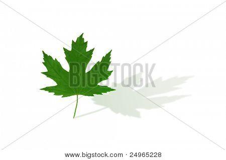 Maple leaf isolated on white.