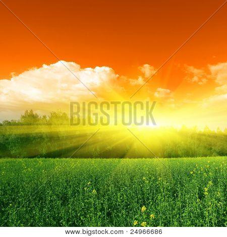 Sun,trees and yellow rapeseed field.