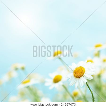 Daisies in the morning.