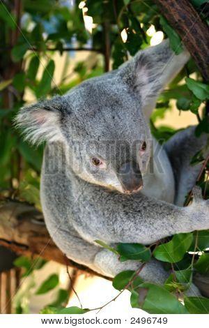 Oso Koala...