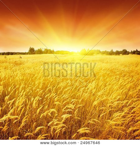 Sunset and field of yellow grass.