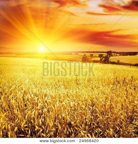 Weizenfeld bei Sonnenuntergang.