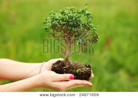 bonsai in hands on green grass background