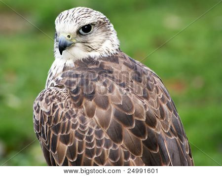 Merlin Falco columbarius close up