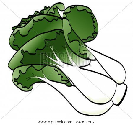 Vector Pak Choi (Chinese Cabbage) isolated on white