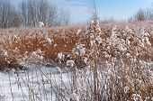 Dry Grass Under Snow, Snow-covered Field, Field Plants In Snow poster