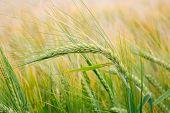 Wheat Field. Green Ears Of Wheat On The Field. Background Of Ripening Ears Of Meadow Wheat Field. Ri poster