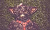 cute terrier laying in the grass during summer toned with a retro vintage instagram filter  poster