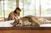 fat tabby cat sleep on the table indoor poster