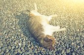 fat tabby cat sleep on ground with funny pose poster