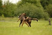 Dogs play with each other. Merry fuss puppies. Aggressive dog. Training of dogs.  Puppies education, poster