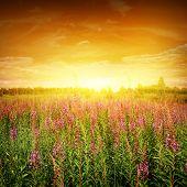 Постер, плакат: Яркий закат и цветок поле