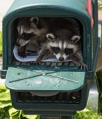 Two Baby Raccoons Hiding In A Dark Green Mailbox. poster