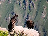 Condors Above The Colca Canyon At Condor Cross Or Cruz Del Condor Viewpoint In Chivay, Peru poster