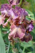 Tall Bearded Queen In Calico Iris Flower - Latin Name - Iris Barbata Elatior Queen In Calico poster