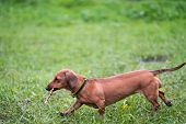 Dog Is Running With A Stick. Dog Breed Standard Smooth-haired Dachshund, Bright Red Color, Female. poster