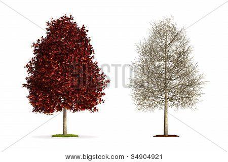 Red Sweetgum Tree.